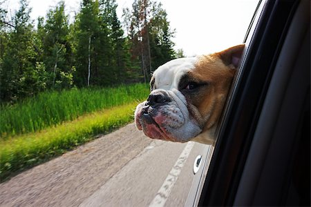 Image of a bulldog hanging head out of car window while driving along Stock Photo - Budget Royalty-Free & Subscription, Code: 400-07680824