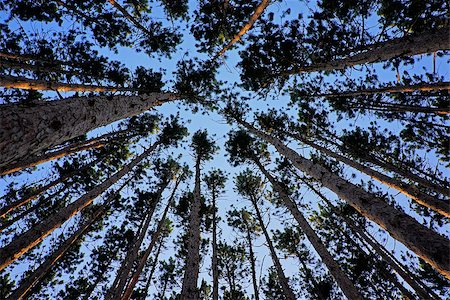 Image taken in a grove of pine trees looking up towards sky Stock Photo - Budget Royalty-Free & Subscription, Code: 400-07680822