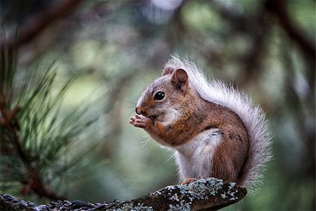 Image of a cute squirrel in a tree eating seeds Stock Photo - Budget Royalty-Free & Subscription, Code: 400-07680823