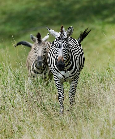 Two Zebras Running In The Tall Grass Stock Photo - Budget Royalty-Free & Subscription, Code: 400-07682654