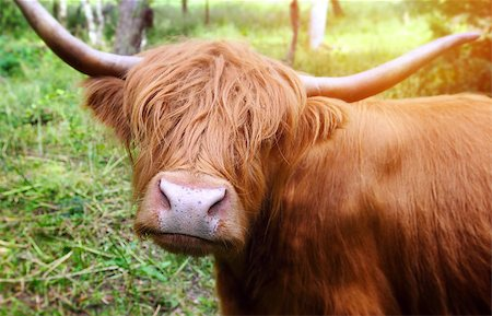 Longhaired cattle up close. Stock Photo - Budget Royalty-Free & Subscription, Code: 400-07712549