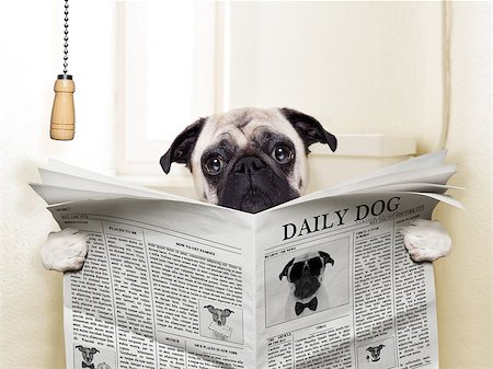 pug dog sitting on toilet and reading magazine having a break Stock Photo - Budget Royalty-Free & Subscription, Code: 400-07729322