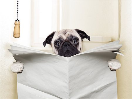pug dog sitting on toilet and reading magazine having a break Stock Photo - Budget Royalty-Free & Subscription, Code: 400-07729323