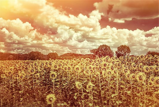 Grunge style photo of beautiful sunflowers field in sunset light, agricultural landscape, big yellow flowers, beauty of autumn nature Stock Photo - Royalty-Free, Artist: Anna_Omelchenko, Image code: 400-07824563