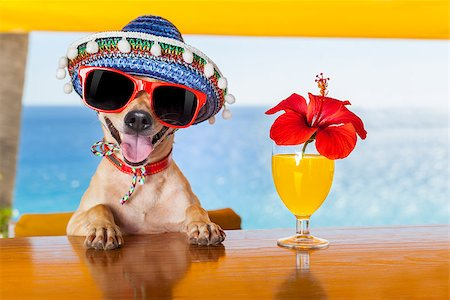 dog in heat - funny cool chihuahua dog drinking cocktails at the bar in a  beach club party with ocean view Stock Photo - Budget Royalty-Free & Subscription, Code: 400-07822391