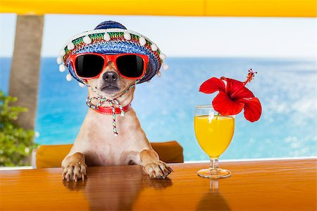 dog in heat - funny cool chihuahua dog drinking cocktails at the bar in a  beach club party with ocean view Stock Photo - Budget Royalty-Free & Subscription, Code: 400-07822392