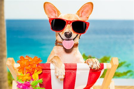 dog in heat - chihuahua dog at the beach having a a relaxing time on a hammock while sun tanning Stock Photo - Budget Royalty-Free & Subscription, Code: 400-07822410