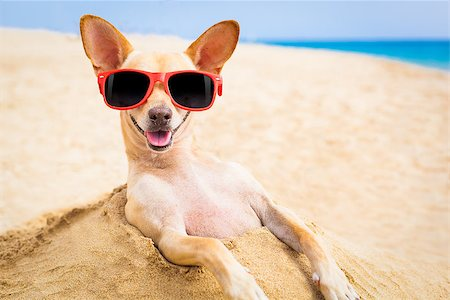 dog in heat - cool chihuahua dog at the beach wearing sunglasses Stock Photo - Budget Royalty-Free & Subscription, Code: 400-07822433
