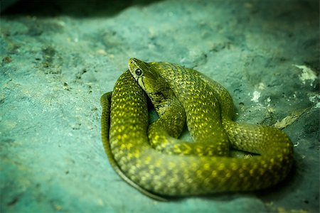 snake skin - Indo chinese rat snake (Plyas korros) in Dusit Zoo Thailand Stock Photo - Budget Royalty-Free & Subscription, Code: 400-07951574