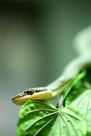 snake skin - Close up Golden tree snake  relax on the leaf Stock Photo - Budget Royalty-Free & Subscription, Code: 400-07951570