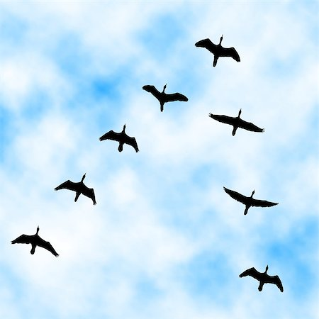 Editable vector illustration of a cormorant flock flying overhead with sky background made with a gradient mesh Stock Photo - Budget Royalty-Free & Subscription, Code: 400-07953185