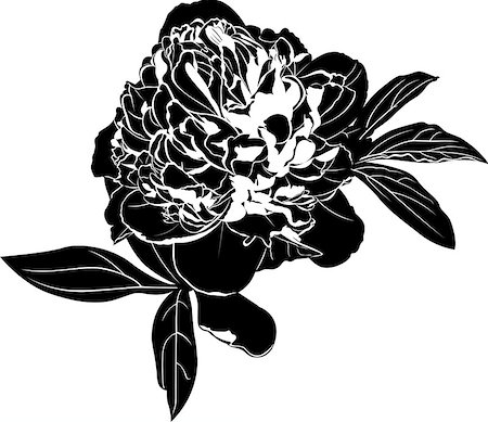 peony design vector - peonies Stock Photo - Budget Royalty-Free & Subscription, Code: 400-07976416