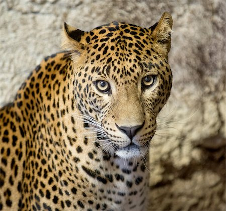 This is a portrait of the leopard ( panther, Panthera pardus). Stock Photo - Budget Royalty-Free & Subscription, Code: 400-07981341