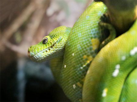 snake skin - Green python curled up on a branch photographed close up Stock Photo - Budget Royalty-Free & Subscription, Code: 400-08051362