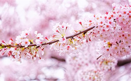 Sakura blossom flower close up for background Stock Photo - Budget Royalty-Free & Subscription, Code: 400-08051535