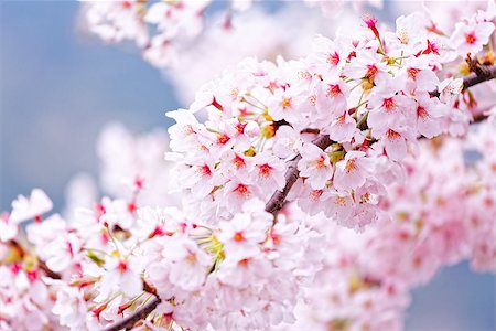 Sakura blossom flower close up for background Stock Photo - Budget Royalty-Free & Subscription, Code: 400-08051537