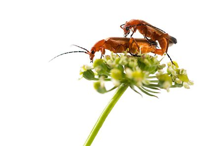 people mating - Common red soldier beetle, Rhagonycha fulva, mating on a flower in front of a white background Stock Photo - Budget Royalty-Free & Subscription, Code: 400-08052801