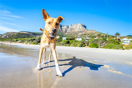dog in heat - terrier dog having fun,running , jumping and playing at the beach on summer holidays Stock Photo - Budget Royalty-Free & Subscription, Code: 400-08109888