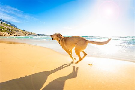 dog in heat - terrier dog having fun,running , jumping and playing at the beach on summer holidays Stock Photo - Budget Royalty-Free & Subscription, Code: 400-08109890