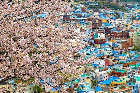 Sakura tree at Gamcheon Culture Village, Busan, South Korea. Stock Photo - Budget Royalty-Free & Subscription, Code: 400-08114378