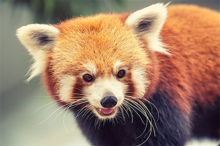 Portrait of a Red Panda, Firefox or Lesser Panda - Ailurus fulgens Stock Photo - Budget Royalty-Free & Subscription, Code: 400-08154053