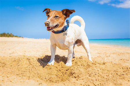 dog in heat - dog digging a hole in the sand at the beach on summer holiday vacation, ocean shore behind Stock Photo - Budget Royalty-Free & Subscription, Code: 400-08158292