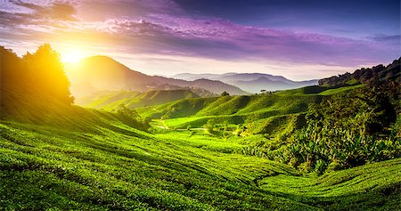 Tea plantation in Cameron highlands, Malaysia. Nature background Stock Photo - Budget Royalty-Free & Subscription, Code: 400-08153254