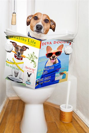 jack russell terrier, sitting on a toilet seat with digestion problems or constipation reading the gossip magazine or newspaper Stock Photo - Budget Royalty-Free & Subscription, Code: 400-08164464