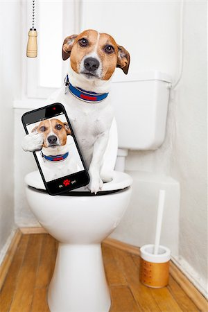 jack russell terrier, sitting on a toilet seat with digestion problems or constipation looking very sad, taking a selfie Stock Photo - Budget Royalty-Free & Subscription, Code: 400-08164465