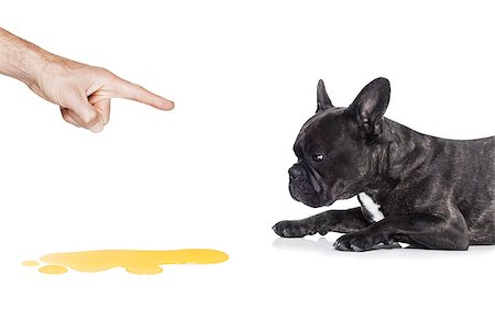 french bulldog dog being punished for urinate or pee  at home by his owner, isolated on white background Stock Photo - Budget Royalty-Free & Subscription, Code: 400-08162614