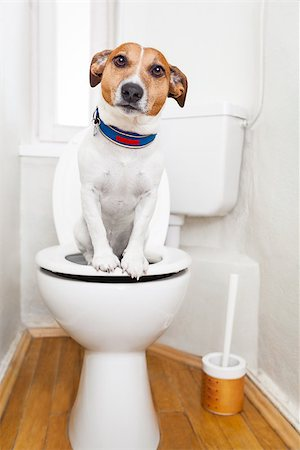 jack russell terrier, sitting on a toilet seat with digestion problems or constipation looking very sad Stock Photo - Budget Royalty-Free & Subscription, Code: 400-08163215