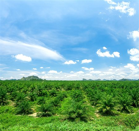 Views of palm oil plantations Stock Photo - Budget Royalty-Free & Subscription, Code: 400-08186427