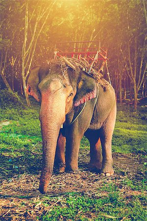 Elephant stands in the middle of the forest in the jungle. Krabi province, Thailand Stock Photo - Budget Royalty-Free & Subscription, Code: 400-08186439