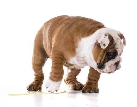 puppy peeing - bulldog puppy peeing isolated on white background Stock Photo - Budget Royalty-Free & Subscription, Code: 400-08187931