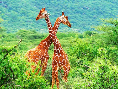 people mating - Fight of two giraffes. Africa. Kenya. Samburu national park. Stock Photo - Budget Royalty-Free & Subscription, Code: 400-08222886