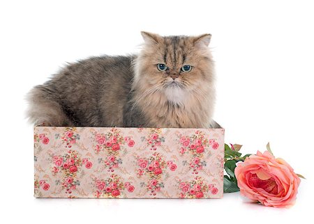 silver box - persian cat in front of white background Stock Photo - Budget Royalty-Free & Subscription, Code: 400-08254272