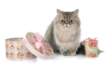 silver box - persian cat in front of white background Stock Photo - Budget Royalty-Free & Subscription, Code: 400-08254284