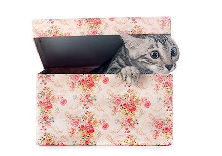silver box - bengal kitten in front of white background Stock Photo - Budget Royalty-Free & Subscription, Code: 400-08256961