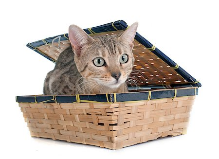 silver box - bengal cat silver in front of white background Stock Photo - Budget Royalty-Free & Subscription, Code: 400-08253885