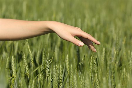 Woman hand touching softly wheat in a field Stock Photo - Budget Royalty-Free & Subscription, Code: 400-08334330