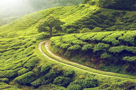Tea plantation in Cameron highlands, Malaysia Stock Photo - Budget Royalty-Free & Subscription, Code: 400-08333964