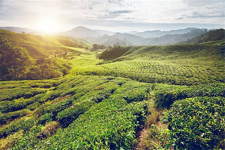 Tea plantation and lonley tree in sunset time. Nature background Stock Photo - Budget Royalty-Free & Subscription, Code: 400-08333963