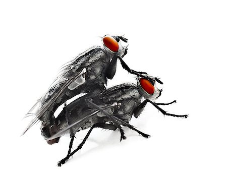 people mating - Mating flyes, two common grey flyes isolated on white background, extreme closeup macro on an creepy domastic insect with red eyes, invertebrate animals details, vermin Stock Photo - Budget Royalty-Free & Subscription, Code: 400-08344706