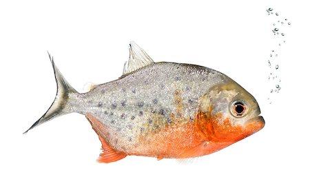 piranha fish - Piranha, Serrasalmus nattereri, in front of white background, studio shot Stock Photo - Budget Royalty-Free & Subscription, Code: 400-08342523