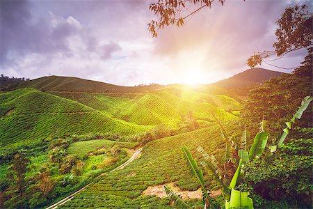Tea plantation in Cameron highlands, Malaysia Stock Photo - Budget Royalty-Free & Subscription, Code: 400-08373105