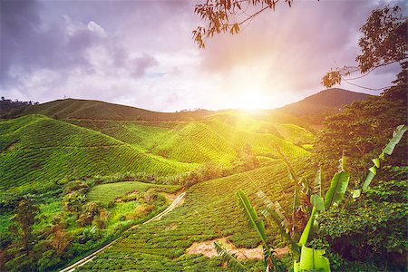 Tea plantation in Cameron highlands, Malaysia Stock Photo - Budget Royalty-Free & Subscription, Code: 400-08373105