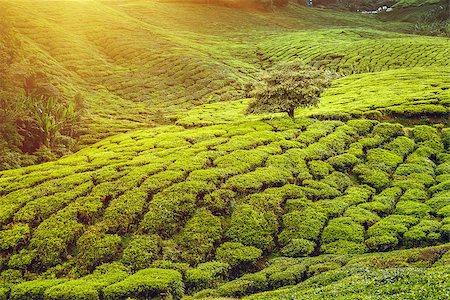 Tea plantation in Cameron highlands, Malaysia Stock Photo - Budget Royalty-Free & Subscription, Code: 400-08373542