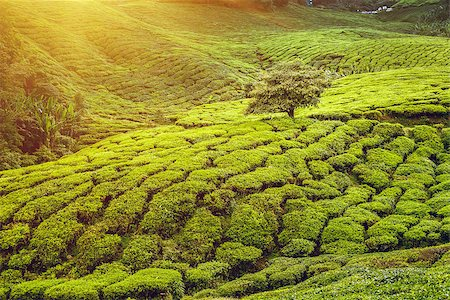 Tea plantation in Cameron highlands, Malaysia Stock Photo - Budget Royalty-Free & Subscription, Code: 400-08373542