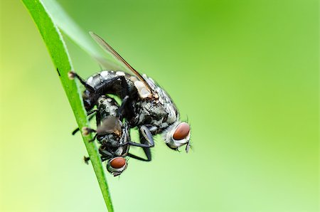 people mating - Close up Flesh Fly (Parasarcophaga ruficornis) mating on the leaf in green background Stock Photo - Budget Royalty-Free & Subscription, Code: 400-08404621