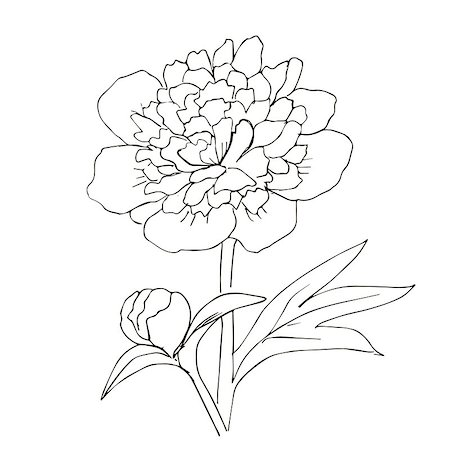 Hand drawn vector with peony flower. Floral natural design. Graphic, sketch drawing. Stock Photo - Budget Royalty-Free & Subscription, Code: 400-08405022